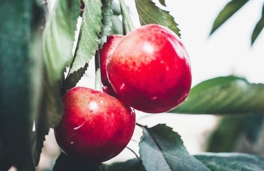 Three apples on an apple tree
